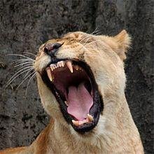 Lion - Wikipedia, the free encyclopedia