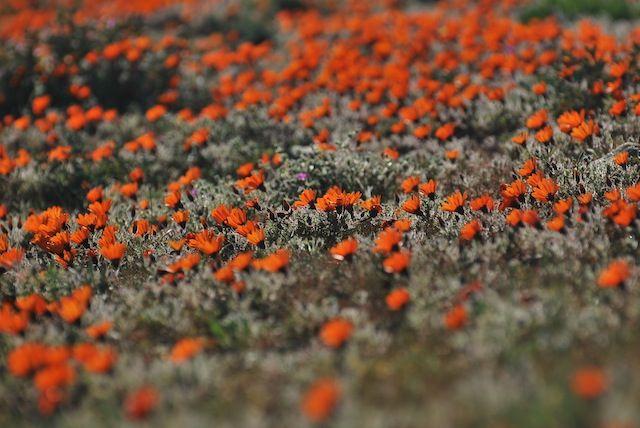 Floral splendour in Namaqua National Park