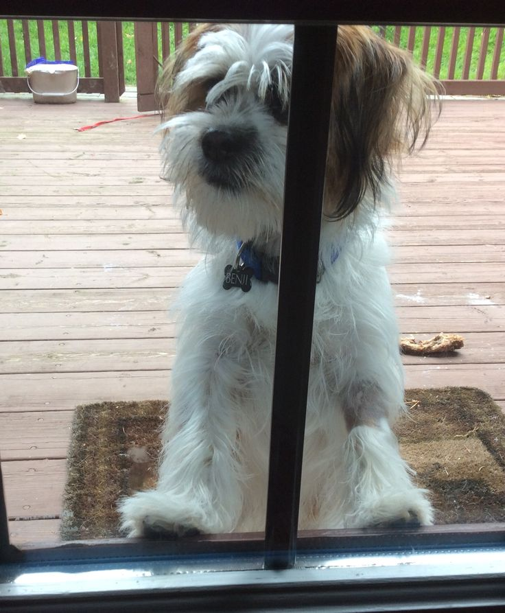 Benji looking into the sun room from the patio on 17-10-15.