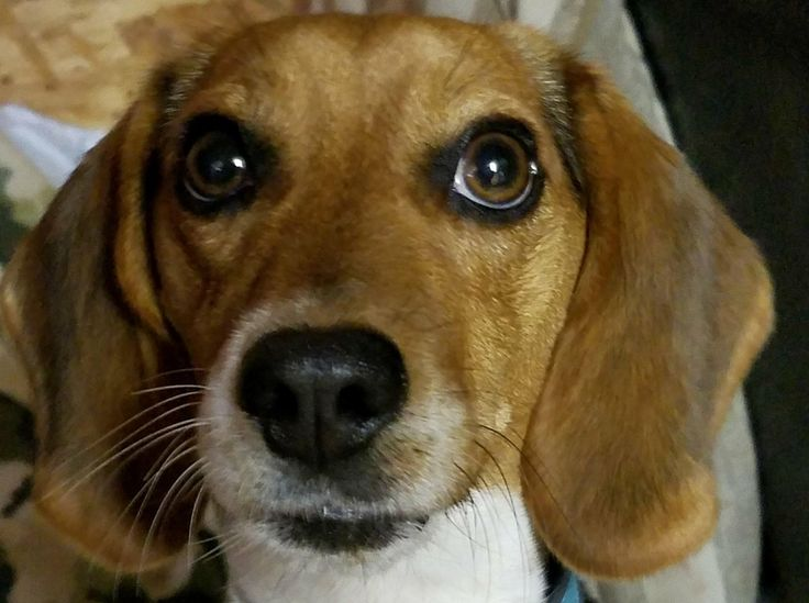 ADOPTED!!  Defuniak Springs FL - Lady Bug is an adoptable Beagle Mix searching for a forever family; LOCATED at H.E.A.R.T. Animal Rescue, Defuniak Springs FL