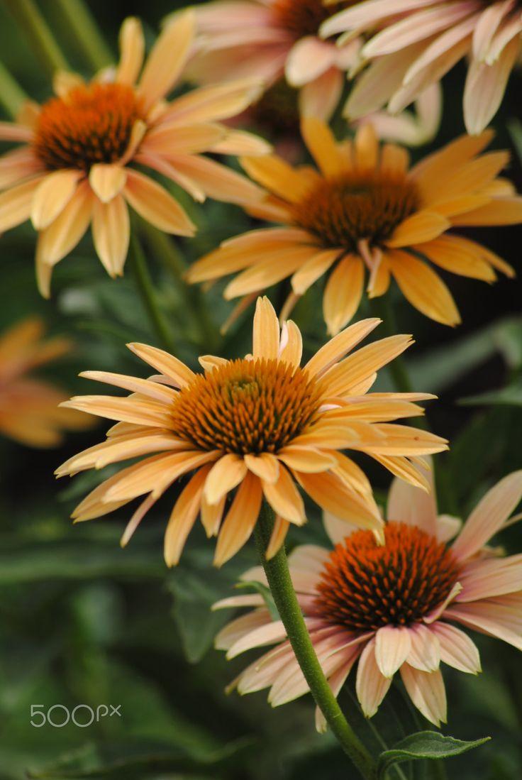 313 best Flowers images on Pinterest   Plants, Bearded iris and Iris ...