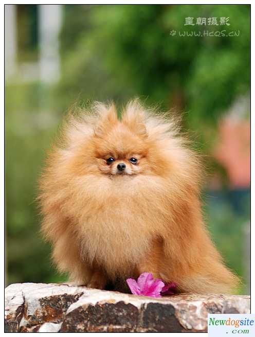 red pomeranian puppies pictures 07 marshal new pp ~ Looks ...