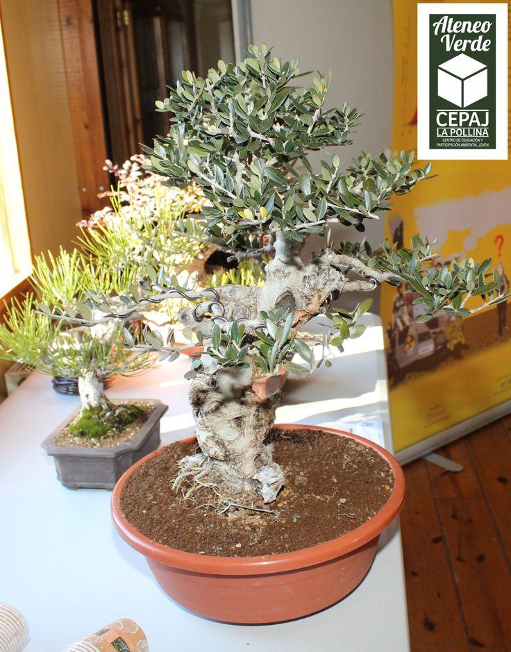 """¿QUE ES UN BONSAI? El término debe su significado a un árbol o planta arreglado (sai) plantado en un recipiente plano de barro (bon). Quizá la mejor definición sea la que hace la Asociación japonesa de bonsái: """"Es un árbol o una planta cultivada en una maceta y, por tanto, de reducido tamaño, pero que logra expresar completamente la belleza y el volumen de un árbol creciendo en su ambiente natural"""". https://www.facebook.com/cepajlapollina"""