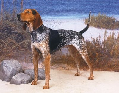 BBS Breed Spotlight: The American English Coonhound!