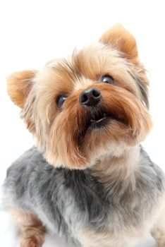Different Yorkie Haircut Styles | Yorkshire Terrier Information Center // square puppy