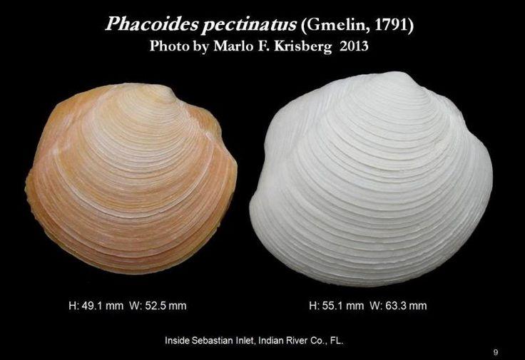 Florida Pliocene Shell - Google Search