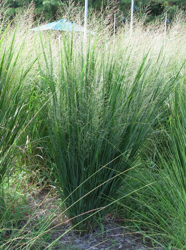 Panicum virgatum 'North Wind'/Switch Grass. This perennial grass is very upright and looks great in massings. It can reach five feet tall. It has golden tones in fall.
