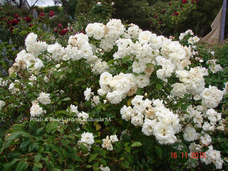 Hybrid Musk rose 'Prosperity, very hardy and floriferous, from our garden.