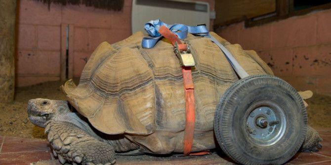 Χελώνα έπαθε αρθριτικά από το πολύ sex!