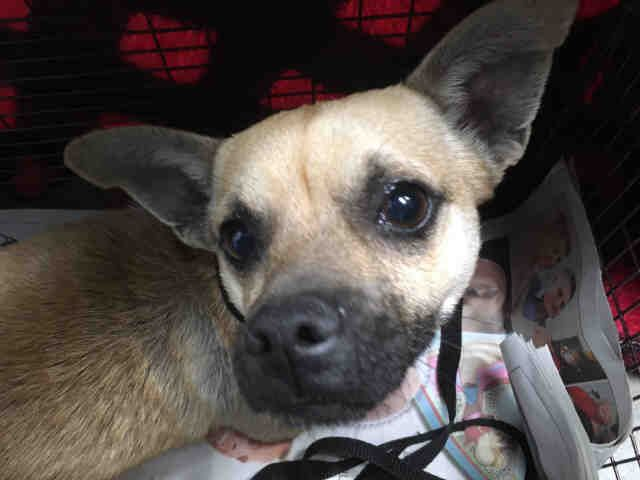 Rat Cha Dog For Adoption In San Antonio Tx Adn 783578 On Puppyfinder Com Gender Male Age Adult Dog Adoption Dogs Rat Cha