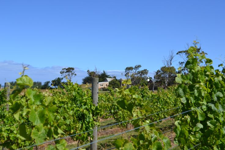 The #vineyard with the old Blacksmith and Shepard's Cottage in the background on the east coast of #Tasmania