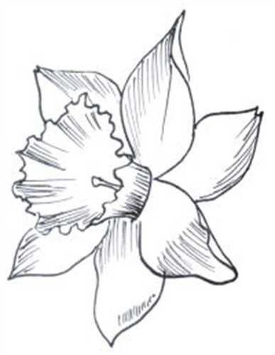 Daffodil                                                       …