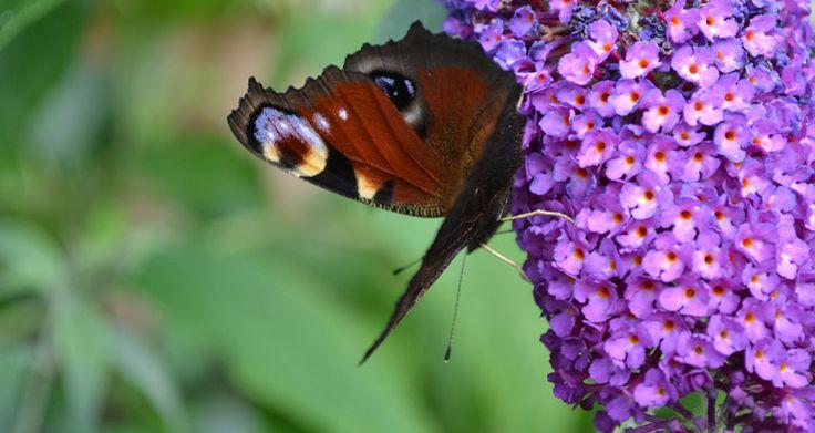 Come potare l'Arbusto delle farfalle  Bakker.com