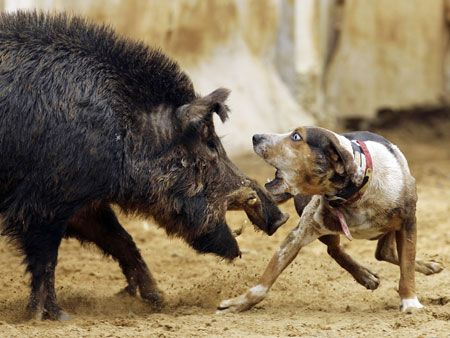 Catahoula vs. Boar. This is what my dog is bred for. Wow.