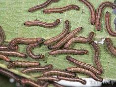 Receitas para o controle de pragas e fungos I