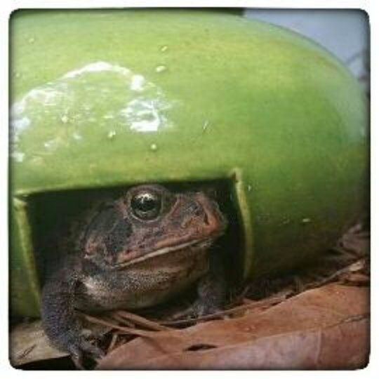 I love it when people send me photos of ceramics they've purchased in use. Who's a happy little toady in his home? Meet Bufo happily ensconced in a HaldeCraft toad home! Thanks for sharing @lauradrewbird! This makes me all kinds of happy!