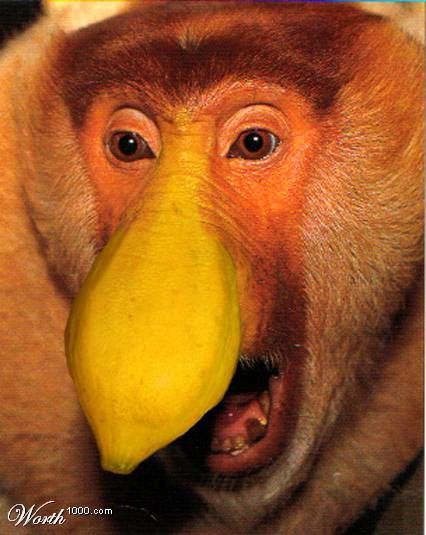 Proboscis Monkey  Nasalis larvatus also known as Long-nosed Monkey is a reddish-brown arboreal Old World monkey. It is the only species in monotypic genus Nasalis.