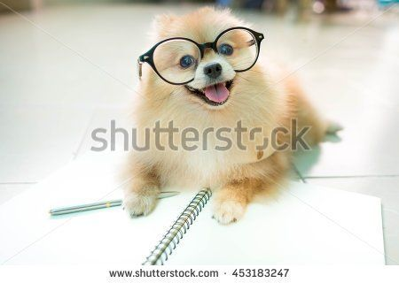 fluffy pomeranian dog with a smiling face wear glasses. - stock photo
