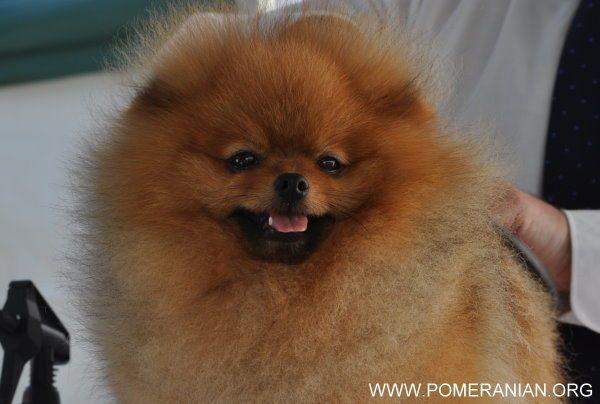 Pomeranian Lifespan Pomeranian Life Expectancy Average Canine Lifespan How Long Do Pomeranians Live Pomeranian Dog Dog Trends Pure Breed Dogs
