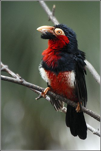 . Bearded Barbet - an amazing black beard matches his black head feathers.  He wears a vest of red trimmed in black and white !