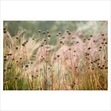 cephalaria gigantea - Recherche Google