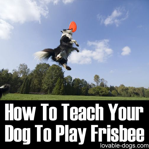 Please Share This Page: Photo © fibena – fotolia.com This wonderful video by Kristin Crestejo impresses us because of its effective steps in teaching a dog how to play Frisbee. First of all, the video shows Kristin with her border collie that started from scratch and worked its way to learning the whole process. The …