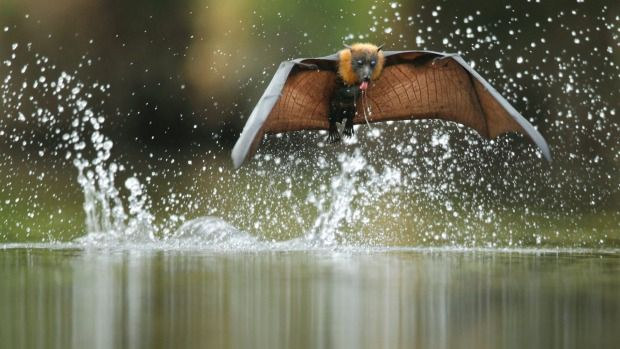 GROUP 2: Flying foxes are wreaking havoc in Avalon.