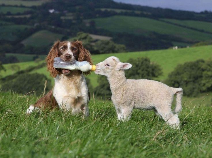 Dans le Devon vit Jess, une femelle Springler anglais. Comme les autres épagneuls, cette race est réputée pour la chasse. Pourtant, c'est en tant que chien de berger que Jess excelle, voire précisément en tant que nounou pour agneaux orphelins à qui elle sait donner le biberon comme personne.