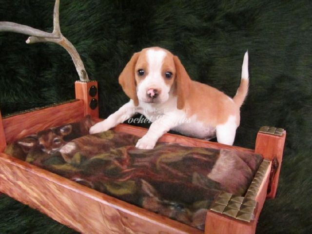 Olde English Pocket Beagle Puppy Www Perfectpocketbeagles Com