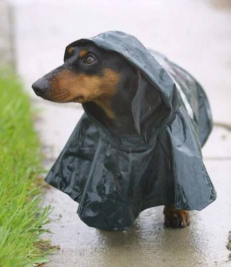 I love a rainy day.. I need to get a rain coat for my doxie, cute. :) (not my dog)