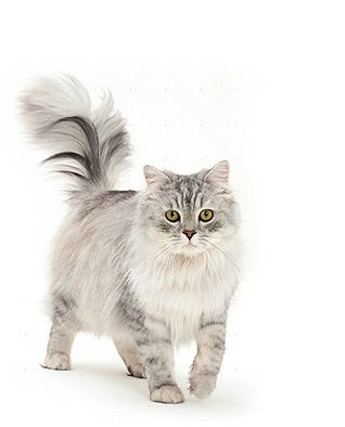 Ragamuffin Cat Breed Information