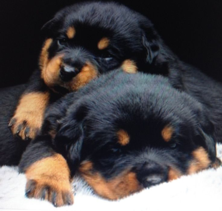 Rottweiler puppies. I want