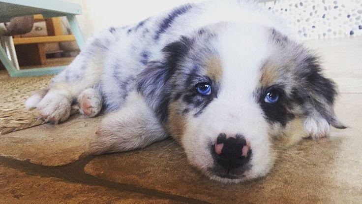 Berger australien bleu merle de 2 mois