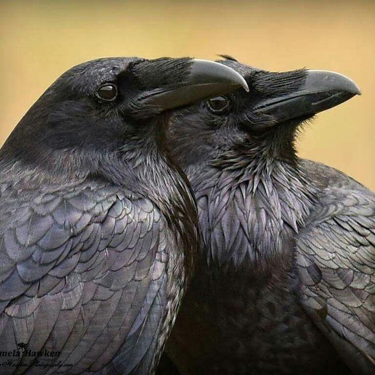 фото пары серых ворон сестра