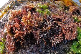 Deniz Kadayıfı : Atlas Okyanusu sahillerinde yetişen, yosuna benzer bir bitkidir. Brom, iyot, potasyum, sodyum, magnezyum gibi mineraller ile müsilaj ve karbonhidrat içerir .Tıbbi kullanımının dışında geleneksel sanatlarımızdan Ebru'nun hazırlanmasında da kullanımı mevcuttur. http://www.bitkiselyag.org/deniz-kadayifi-chondrus-crispus/