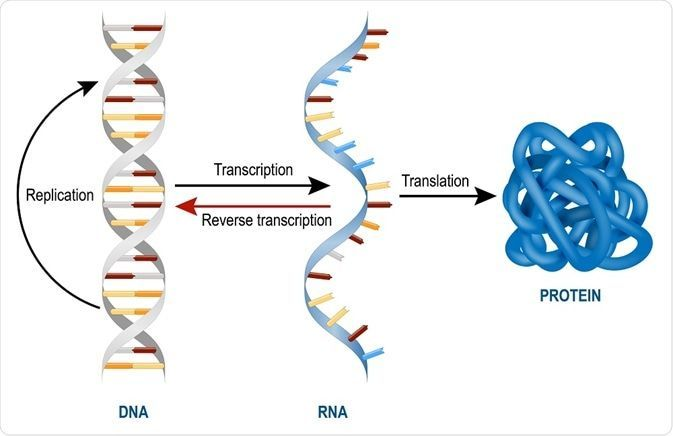 28 Worksheet On Dna Rna And Protein Synthesis With Images