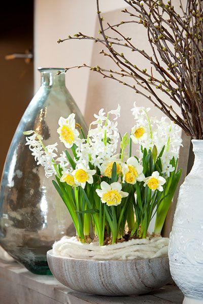 Haal de lente in huis!  Ben je de winter helemaal zat? Dan wordt het tijd om de lente in huis te halen. En wat geeft jouw huis dat echte lente-gevoel meer dan narcissen, blauwe druifjes, geurige hyacinten en kleurrijke tulpen in een pot?  Bollen op pot zijn tot en met april verkrijgbaar en in huis bloeien ze gemiddeld 7 tot 14 dagen. Uiteraard hangt dit af van de temperatuur in huis. Bollen op pot houden van lage temperaturen, kies dus een koel plekje in huis voor een lange bloei.