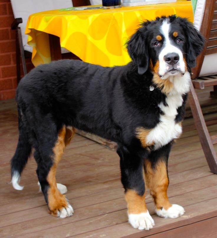 "Berninpaimenkoira,""Laku"" our Bernese Mountain dog"
