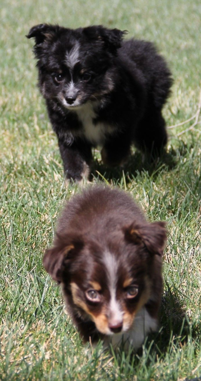 Black tri Toy Aussie puppies in CO, WA, OR, CA, AZ, TX, UT