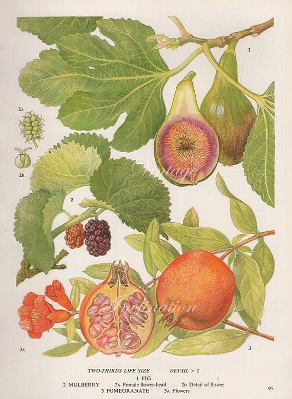 Vintage Botanical Print Antique FIG VARIETIES 95, plant print botanical print, bookplate art print, apple fruit plants plant wall print on Etsy, $12.98