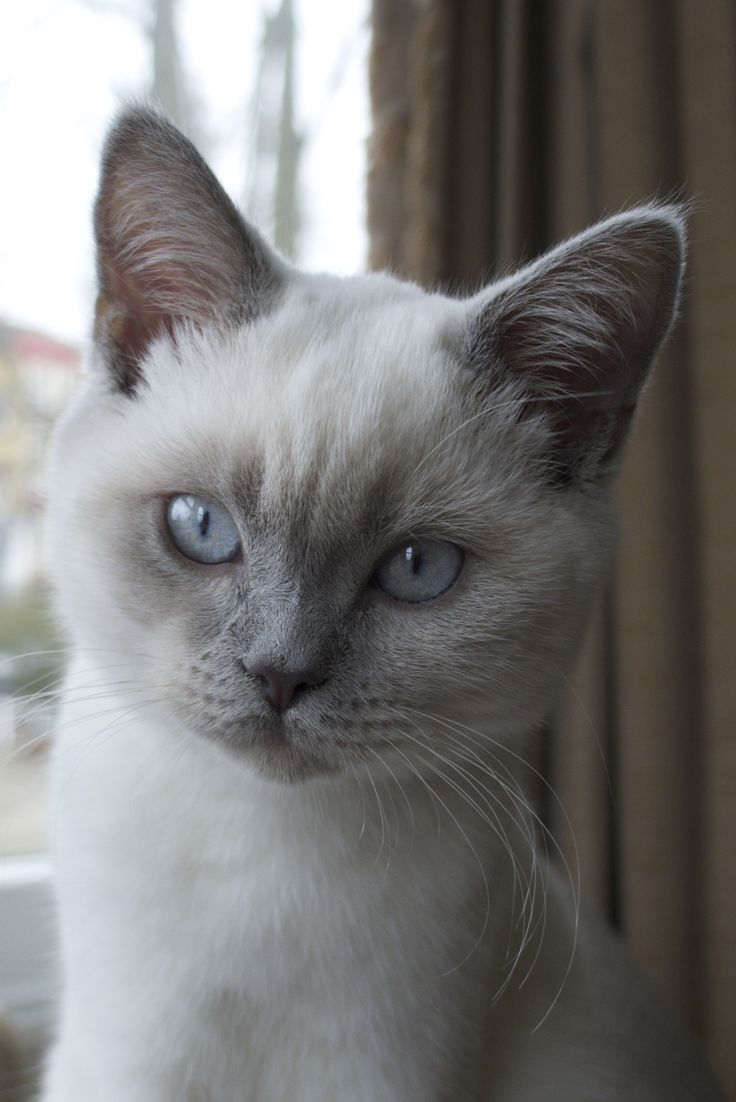 Pretty blue eyes....Bella Luna is my colourpoint British Shorthair.