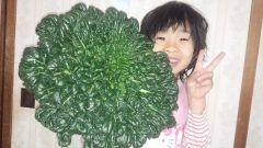 知人よりターサイという野菜をいただきました  なんと言ってもこの大きさにビックリ!! 子供の顔よりもはるかに大きく重さも一キロ超えていました チンゲンサイのように炒めものやお汁にも良く合う野菜だそうです  #ターサイ#野菜 tags[熊本県]