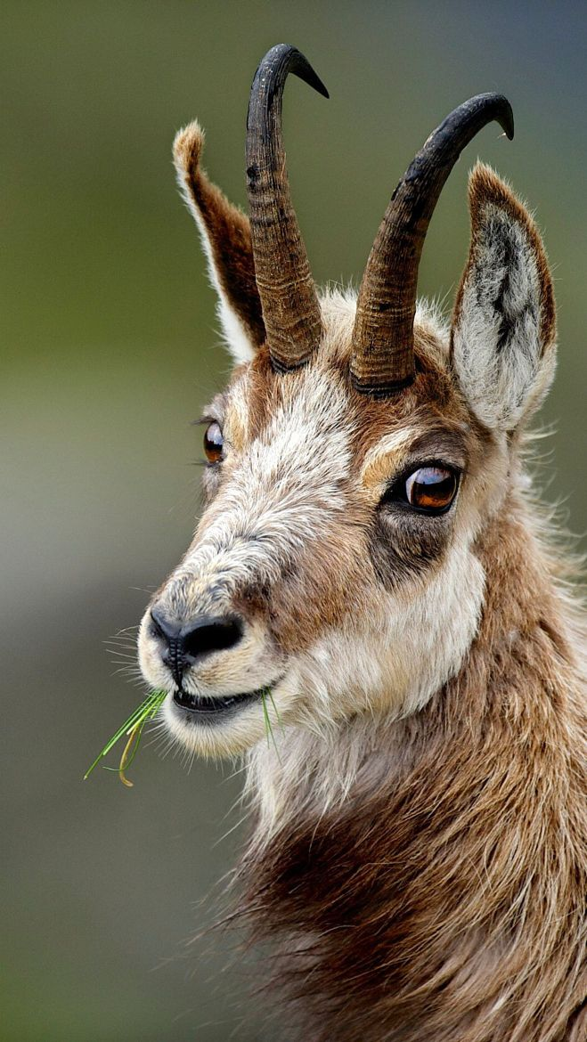 The chamois (Rupicapra rupicapra) is a goat-antelope species native to mountains in Europe,   Photograph - The friendly August.  By Stefan Rosengarten on 500px