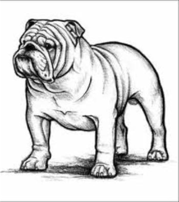 AKC ENGLISH BULLDOG STANDARDS Bulldog drawing, English