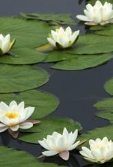 Water Lily White - Bare Root Plant