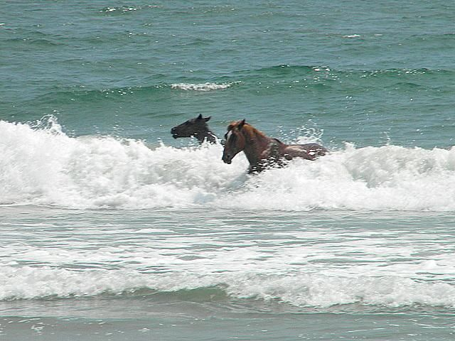 Horses of North Carolina Beaches | Horses in the Surf. Outer Banks of North Carolina. Corolla, Currituck ...