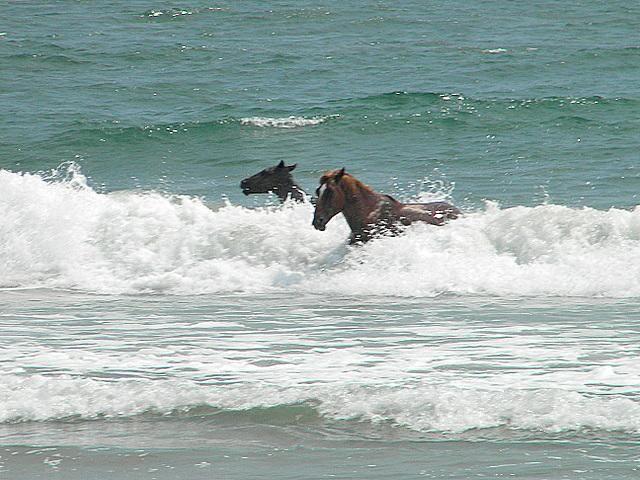 Horses of North Carolina Beaches | Horses in the Surf. Outer Banks of North Carolina. Corolla, Currituck ...