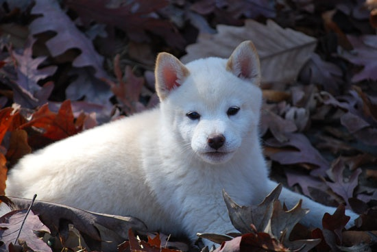 rodel breeders of shiba inu puppiesInu Puppies, Doggie Dreams, Shiba Inu, Shiba Breeders, Rodel Breeders