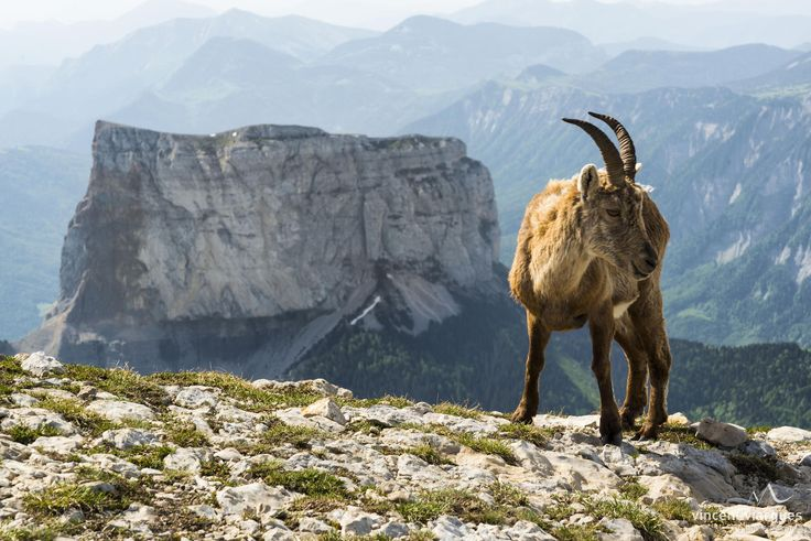 Ibex and the Mont Aiguille