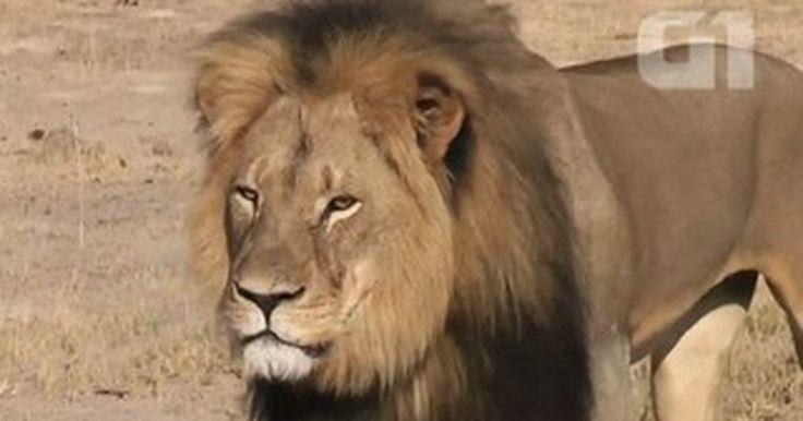 Vídeo mostra leão Cecil, 'ícone' no Zimbábue, antes de ser morto